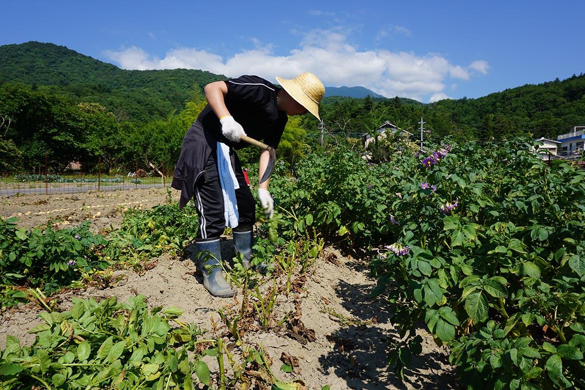 6月に行われたジャガイモ収穫の風景の写真
